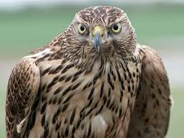 H Is For Hawk – Helen Macdonald