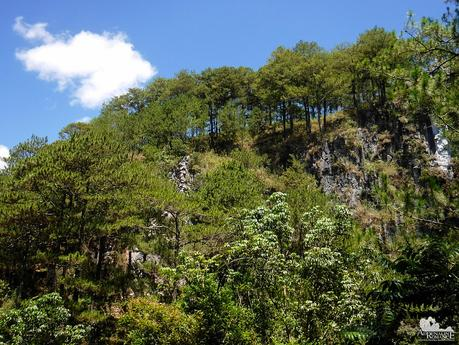 Pine trees of Sagada