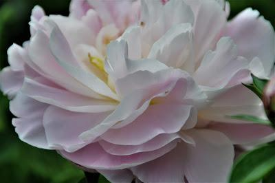 Peonies by Mary Oliver