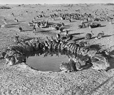 Rabbits MyxomatosisTrial WardangIsland 1938