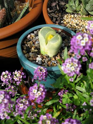 The 10-year rewind – Part 3 – Mrs Lithops' Difficult Delivery