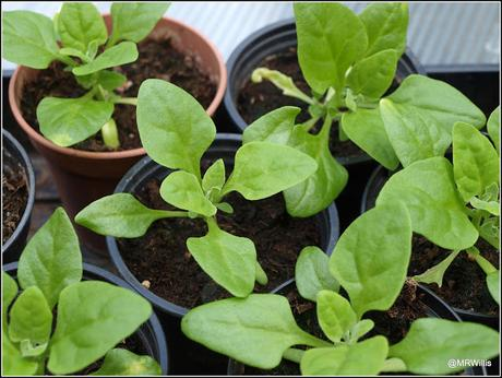 Planting spinach and beans