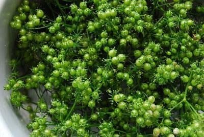 The 10-Year Rewind – Part 6 – Harvesting Coriander Seed