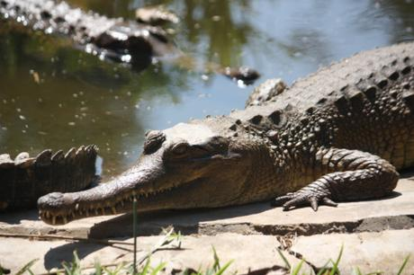DAILY PHOTO: Slender-Snouted Crocodile