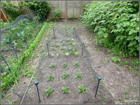 The Courtmoor plot in mid-June