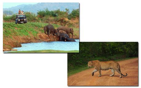 wild life Jeep Safari at Minneriya National Park, Sri Lanka