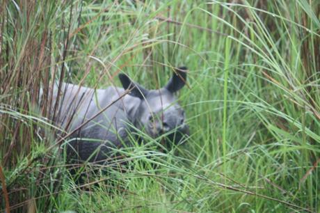 DAILY PHOTO: Little Rhino in the Grass, Kaziranga