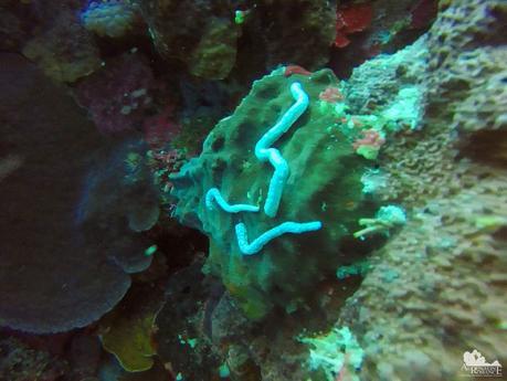 Lion's paw sea cucumber