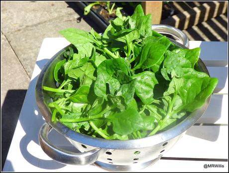 First harvest of NZ Spinach