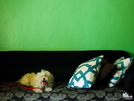 Polly yawning