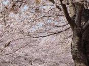 Cherry Blossom Binge Continues Busan