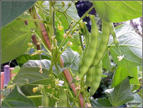 Beans, Bugs and Brassicas