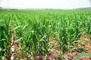 Image: Picture of a crop of Sweet Corn in Spain (c) FreeFoto.com. Photographer: Ian Britton