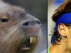 Capybaras That Look Like Rafael Nadal