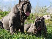 Past Neapolitan Mastiff Were Used Bodyguards