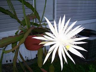 Serious Cereus