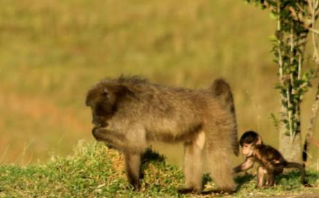 baboon pictures mother and baby together