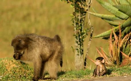 baboon pictures mother and baby the look