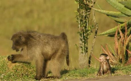 baboon pictures mother and baby crying