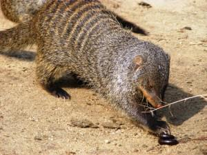 Beetles, insects, small snakes, rodents, lizards and eggs are all part of a mongoose's diet.