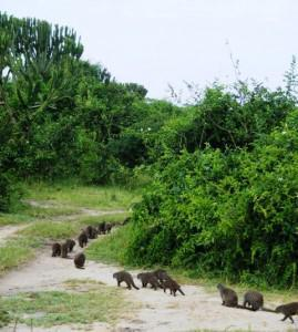 Our family of Mongooses trot off into the Bush at Mweya