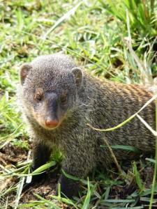 Cute and fluffy or too much like a rat to you? Endlessly fascinating Mongooses