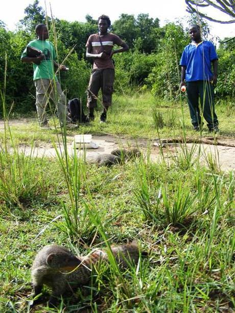 The Mongooses Experience in Queen Elizabeth National Park