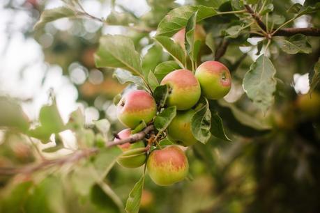 Gravenstein Apple Fair, Sebastopol, August 11-12