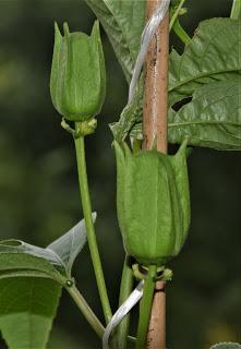 Passsion Flower