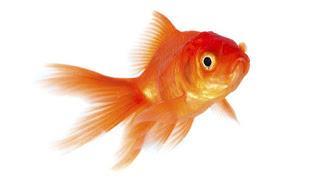 Goldfish - All the Fun at the Fair