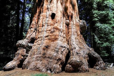 sequioa-tree-sequioa-national-park