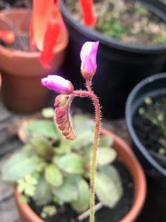A drosera called Barry