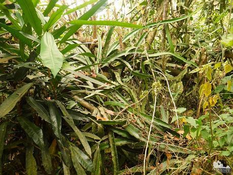 Cebu Dragonfruit plant