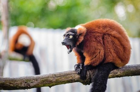 red-ruffed-lemur-wildlife-madagascar