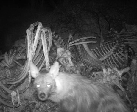 New resource available about brown hyaenas on private land