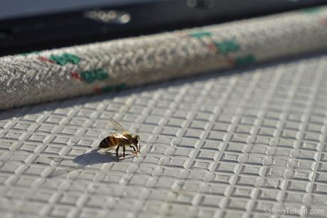 A bee drinking dew from a sailboat deck