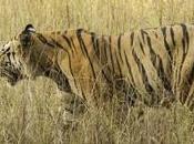 Tiger Safaris India: Adventures Beaten Path