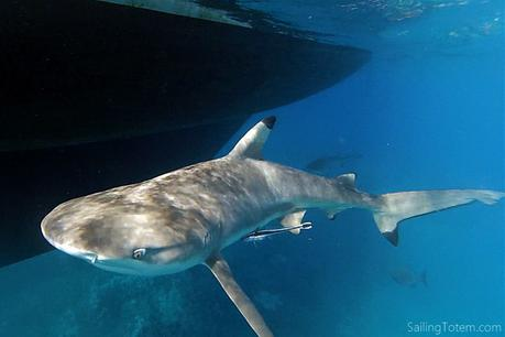 blacktip reef shark swims next to sailboat hull in clear water