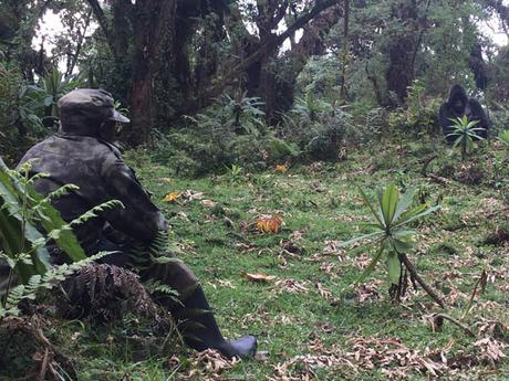 Volcanoes National Park ranger guide watches male mountain gorilla