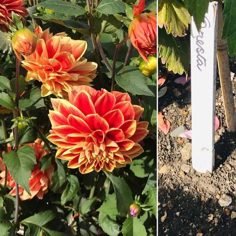 Plant Identifier App, Dahlias and West Dean Gardens.