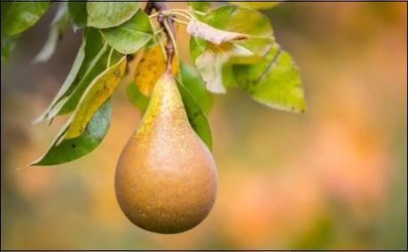 A Fine Pear