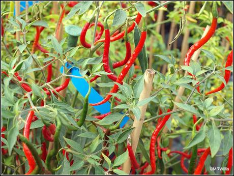 For the love of chillis...