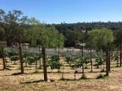 Latest Wines Vines: Foothills Growers Happy with 'Normal' Vintage