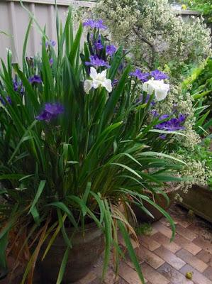 The blue and white Louisiana iris show