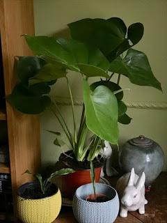 The Monstera deliciosa and the private rain cloud