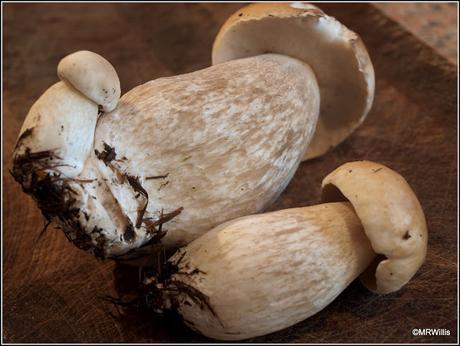Spotlight on the Cep mushroom