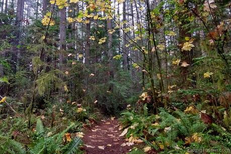 bigleaf maple tree leaves turning yellow and fluttering to a pathway backed by coniferous trees