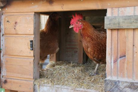 Guide to Keeping Chickens – Housing Your Chickens