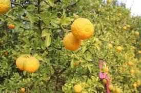 Citrus Not Quite Reincarnated
