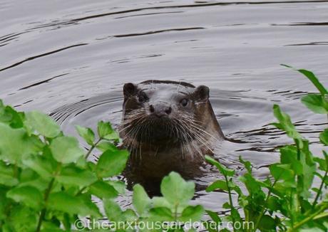 An Otter In Stroud